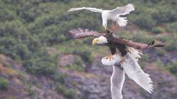두 갈매기와 독수리의 공중전이