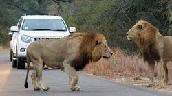도로에 나타나 영양을 사냥하기