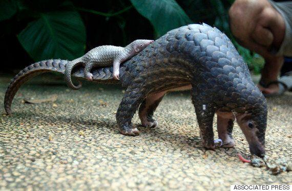 하나의 종이 이렇게 멸종한다 : 인도네시아에서 1톤이 넘는 냉동 천산갑이