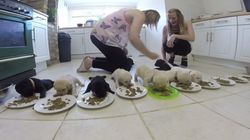 10마리의 새끼 래브라도가 첫 사료를 먹는
