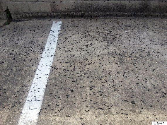 전북 김제에서 정체불명 '검은 벌레' 무더기