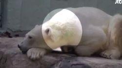 하얀 북극곰이 '녹색'으로 변해버린 데는 이유가