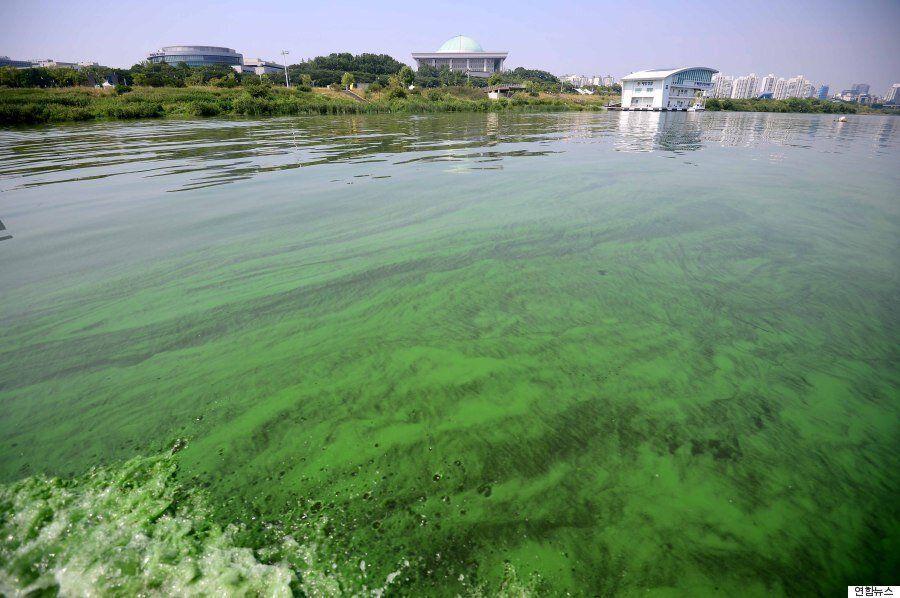[화보] 녹색으로 물든 한강·낙동강 : 정부, 녹조 대책