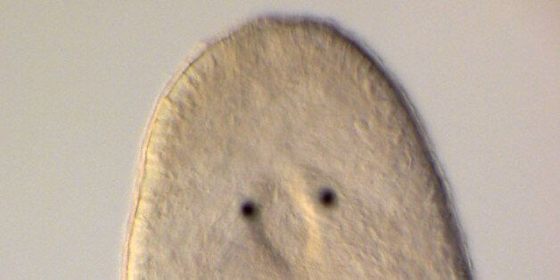 The flatworm Macrostomum hystrix has very large testes, which represent approximately 15% of the body...