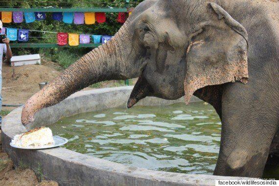 50년간 체인에 묶여있던 그 코끼리, 구조 1년 후인 지금의