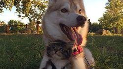 허스키를 엄마처럼 따르는 고양이(사진,