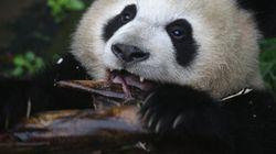 판다는 어떻게 대나무만 먹고 살 수