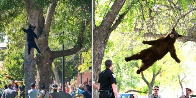 History repeated itself at the University of Boulder when a bear fell from a tree Friday, July 10,