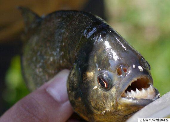 원주환경청, 육식 물고기 '피라냐' 제거 작업