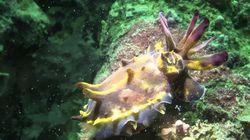 꽃단장한 갑오징어의 심해