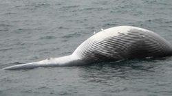 알래스카에서 고래들이 의문사하고