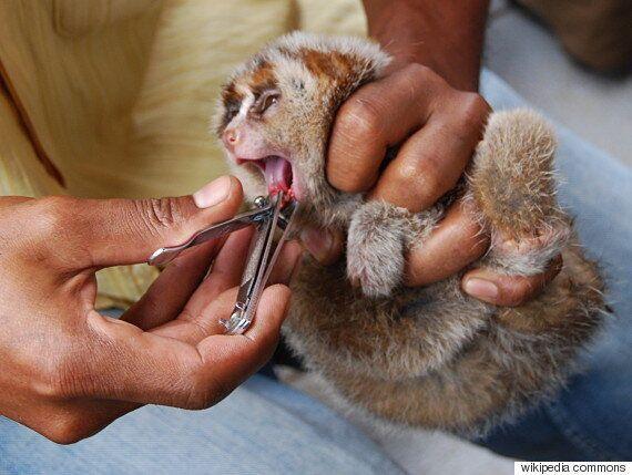 애완용 슬로로리스(늘보원숭이)의 너무나도 귀여운 동영상에 숨겨진 슬픈