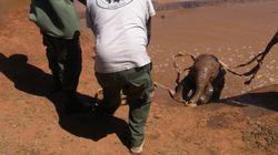 진흙탕에 빠진 새끼 코끼리를 구한