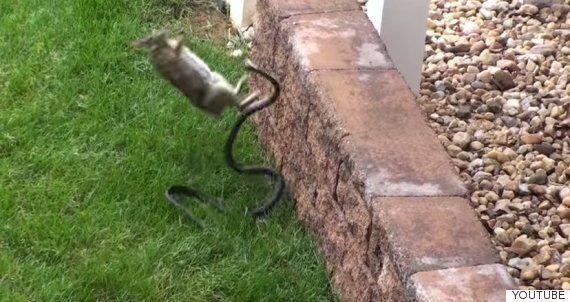 엄마 토끼는 새끼를 위해 뱀과