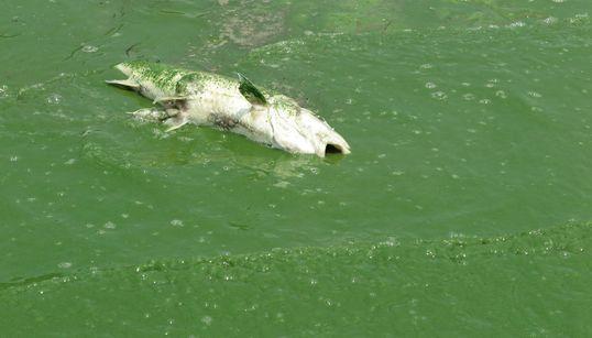 극심한 녹조로 한강 물고기