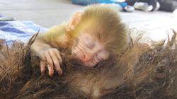 밀렵꾼의 총에 죽은 엄마 곁을 떠나지 않는 야생 원숭이(사진,