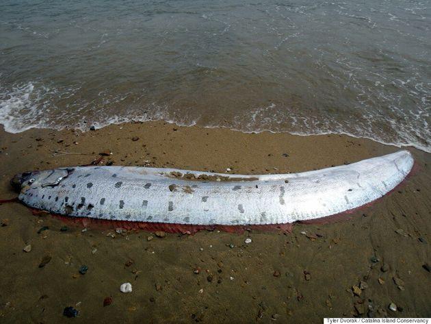 거대 산갈치가 캘리포니아 해안에서 발견됐다(사진,