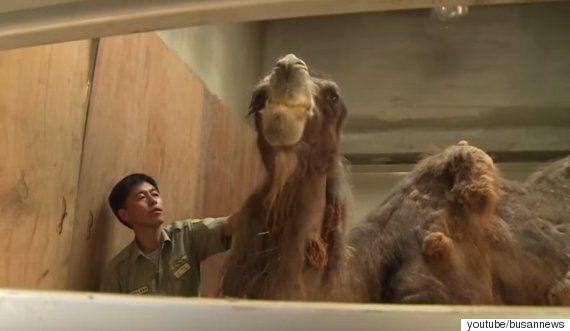 전국 최고령, 부산 유일의 낙타가 홀로