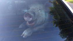 경찰에 붙잡힌 돼지가 미소를 지은