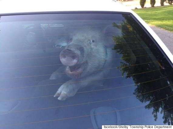 가출한 돼지는 경찰차로 이송될때, 의미심장한 미소를