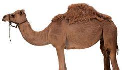 [트윗모음] '낙타 접촉 금지' 정부 지침에 대한