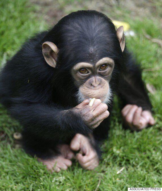 요리가 인류의 진화를 이끌었을까? 침팬지도 조리된 음식을 좋아한다는 연구 결과가
