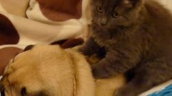 고양이가 퍼그를 마사지한다.