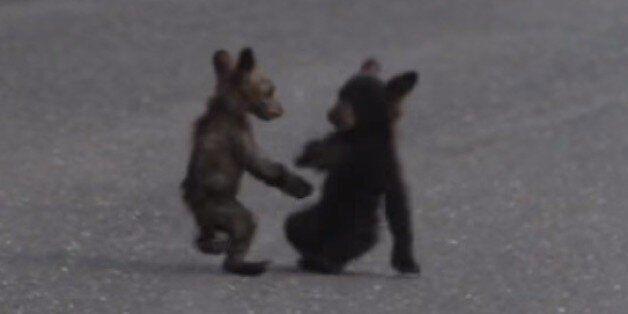 새끼 곰 두마리가 노는, 살인적인 귀여움을
