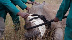 북한 외교관, 모잠비크서 코뿔소 뿔