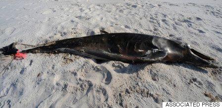딥워터 호라이즌 원유 유출 사고가 아직도 돌고래를 죽이고
