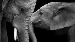 6장의 흑백사진에 담은 '코끼리가 사랑을 느끼는