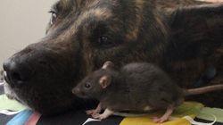 셰퍼드와 애완용 쥐도 우정을