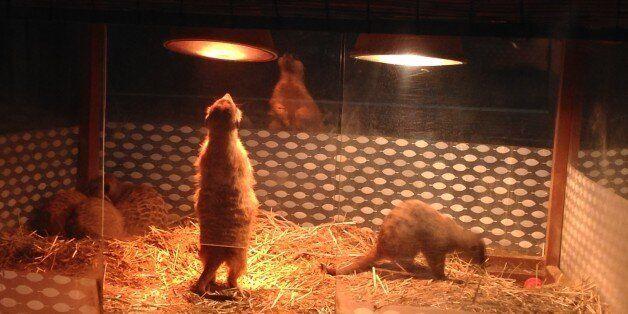 주행성 동물인 미어캣이 인위적인 야간 조명에 노출돼