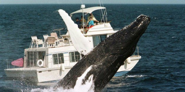 A humpback whale breaches past a boat, Sunday, Aug. 9, 1998, in the waters of Stellwagen Bank off the...
