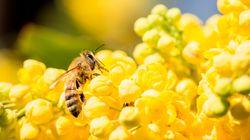 지난해, 미국 꿀벌의 40%가 떼죽음을