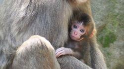 영국 공주의 이름을 딴 일본원숭이