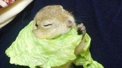 다람쥐가 양배추 망토를 하다(사진,