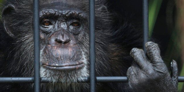 Chita, a female chimpanzee, peers from within her new enclosure at a zoo in Asuncion, Paraguay, Friday,...