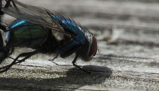 파리는 인간보다 더 음란한 곤충이다(사진,