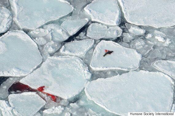 동물 보호단체가 캐나다의 비인도적인 바다표범 사냥 장면을 공개하다(경고: 끔찍한