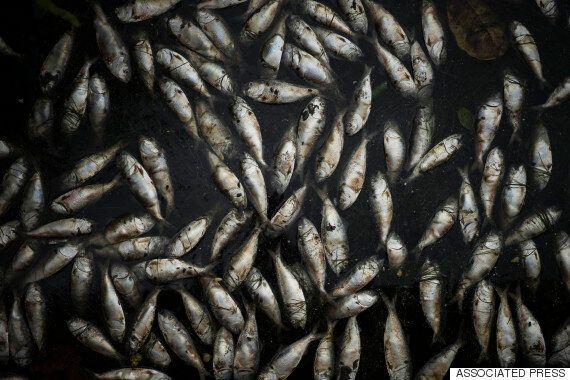 브라질 리우올림픽 앞두고 물고기 집단 폐사(사진,