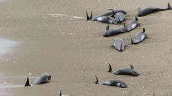 일본 해안서 돌고래 156마리 폐사,