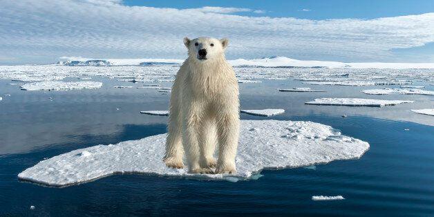 바다 얼음이 사라지면, 북극곰은 먹이를 사냥할 수