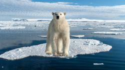 바다 얼음이 사라지면, 북극곰은