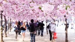 벚꽃의 속도위반