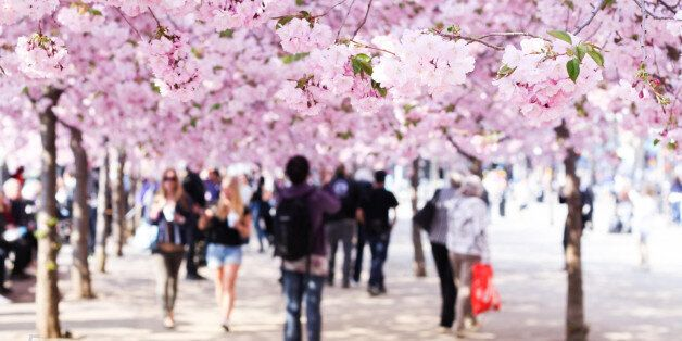 Cherry blossoms in
