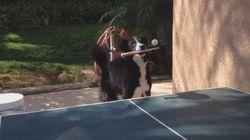 이 개는 탁구를 배우는