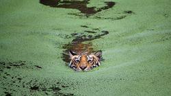 Nεκρές οι μισές από τις τίγρεις που διασώθηκαν σε ναό της