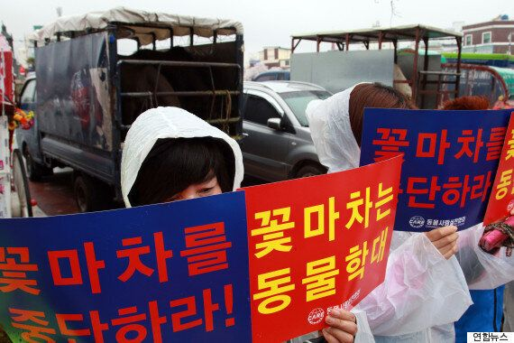 '꽃마차' 운행하는 진해 군항제, 동물보호단체가 중단
