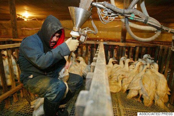 프랑스 법원, 유명 푸아그라 제조업체 동물학대 무죄
